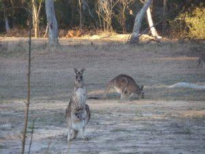 Portland Gate kangaroos
